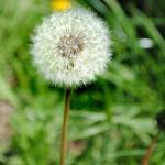 The First Stirrings - dandelion
