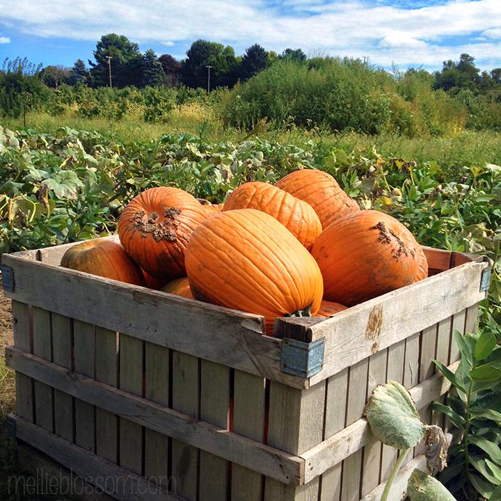 Pumpkins - mellieblossom.com